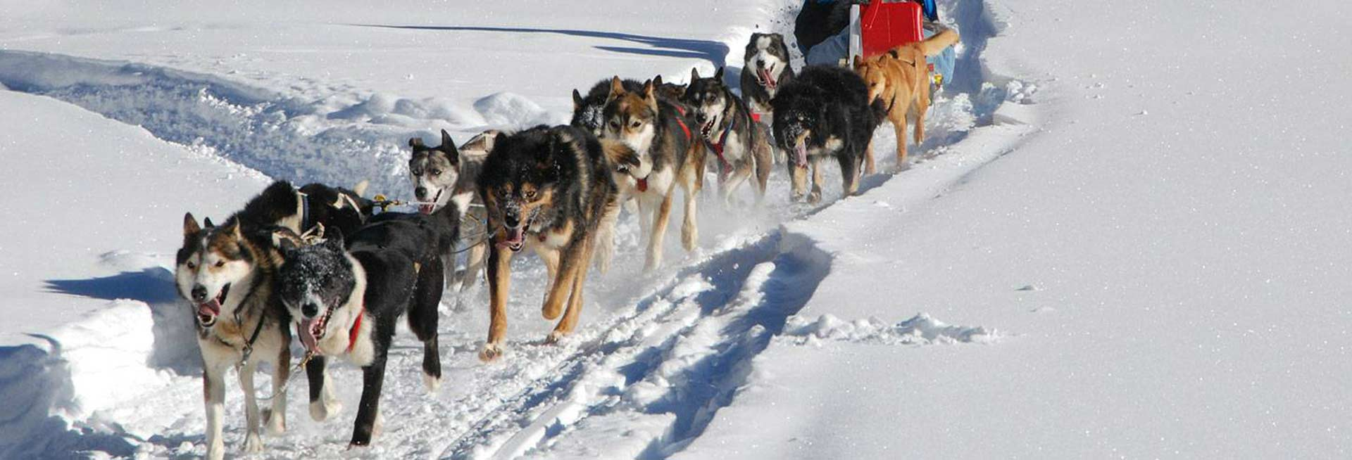 Group of sled dogs on a trail.